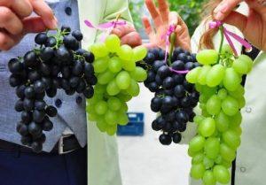 grapes-300×209